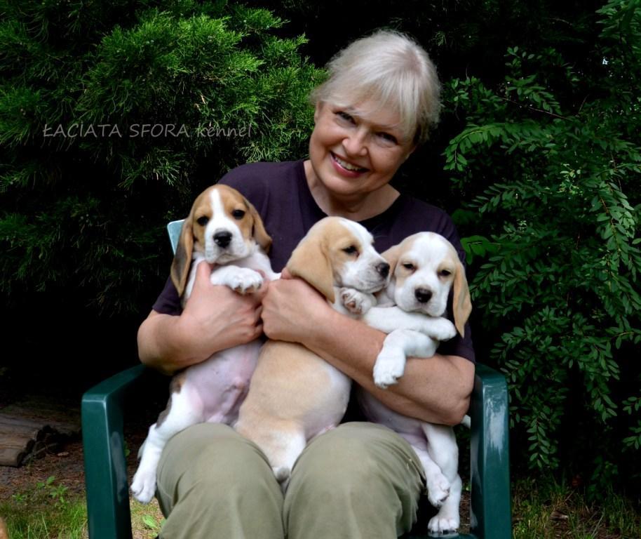Beagle z Łaciatej Sfory